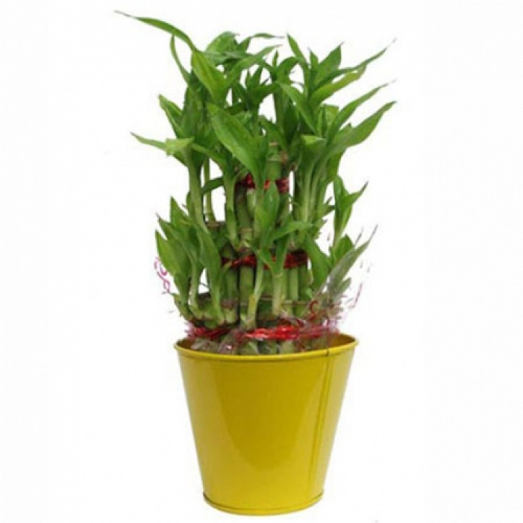 Triple layered lucky bamboo