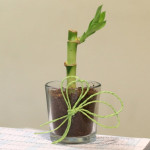 Charming Lucky Bamboo