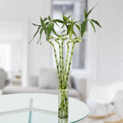 Pentad Spiral Lucky Bamboo