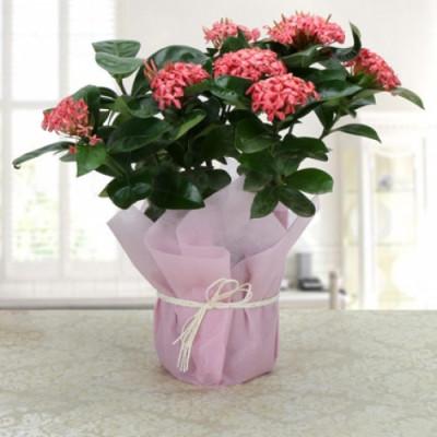 Ixora Blossoms