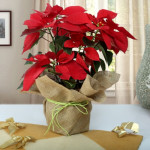 Attractive Poinsettia