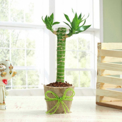 Cute Cut Leaf Bamboo