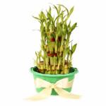 Triple-decker Lucky Bamboo in Basket