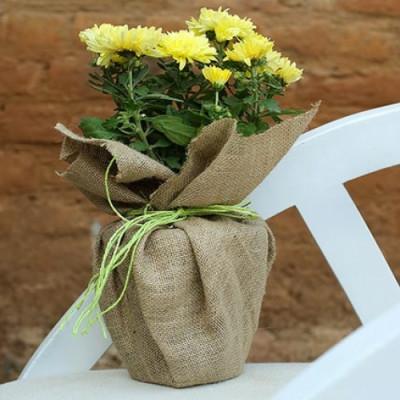 Dazzling Chrysanthemum