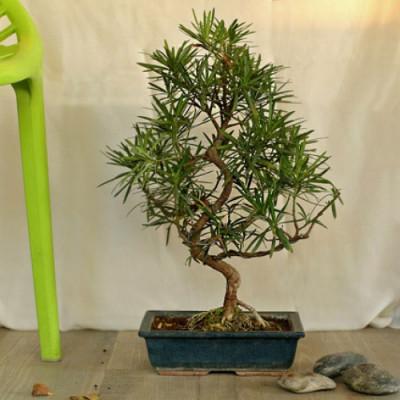 S Shaped Bonsai Podocarpus
