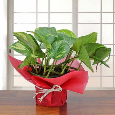Exquisite Money Plant