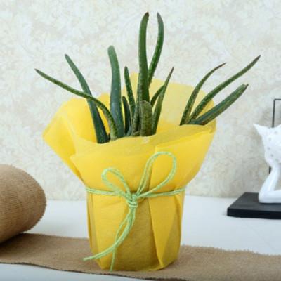 Miraculous Aloe Vera