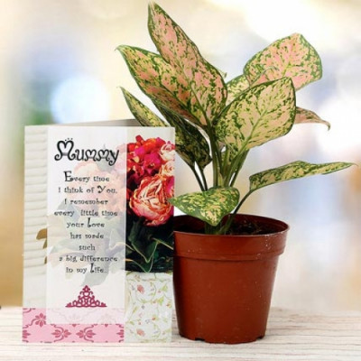 Amazing Aglaonema Plant for Mom