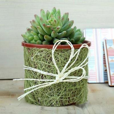 Marvelous Sedum Plant