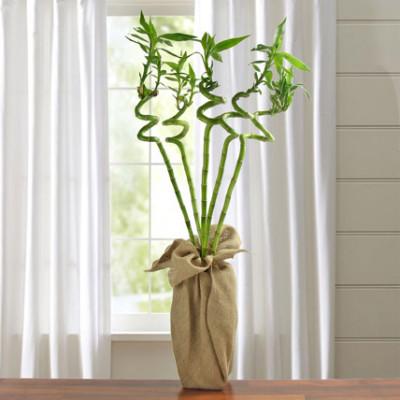 Ever Lucky Bamboo