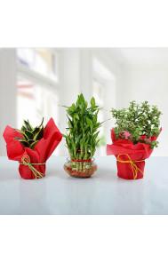 Set of 3 Prosperous Plants